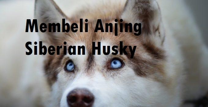 Membeli Anjing Siberian Husky